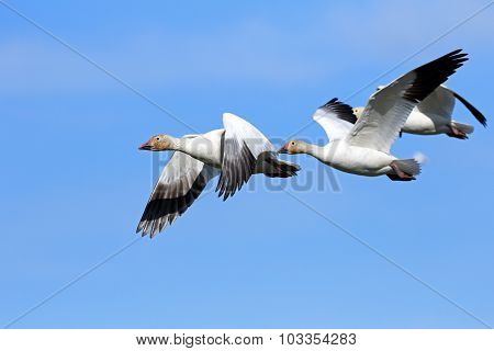 A flock of Snow Geese in Flying Formation - Migration.  Canada poster