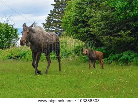 Moose Cow And Calf Emerge From Trees
