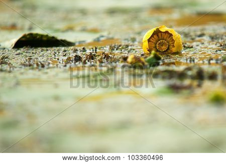 Undeveloped Yellow Water Lily In The River.horizontal.