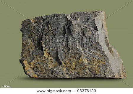 Prints of ancient plants.
