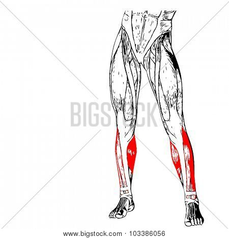 Concept or conceptual 3D adductor longus human lower leg anatomy or anatomical and muscle isolated on white background poster
