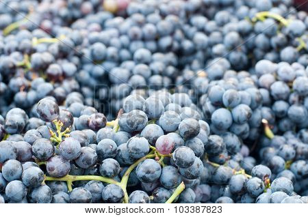 Bunches Of Grapes Lambrusco , A Typical Italian Grape Ready To Be Pressed