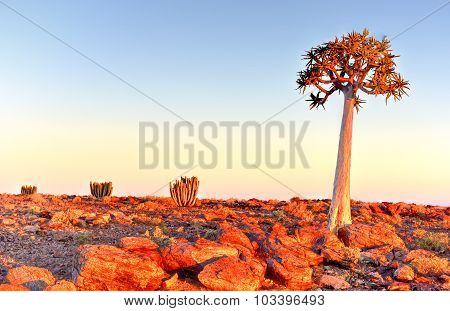 Quiver Tree - Namibia
