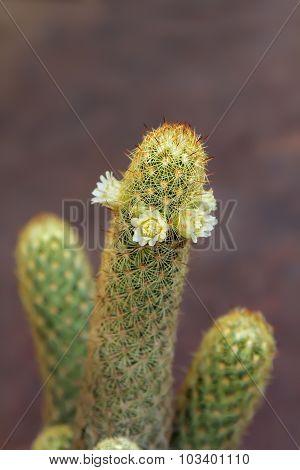 Mammillaria elongate cactus with white flowers.