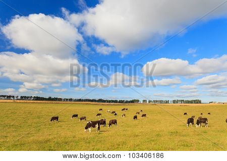 Cows Grazing On A Green Lush Meadow In Aberdeenshire, Scotland Uk