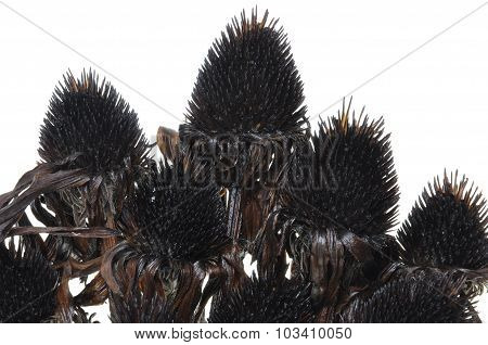 Overblown black flowers isolated on white background