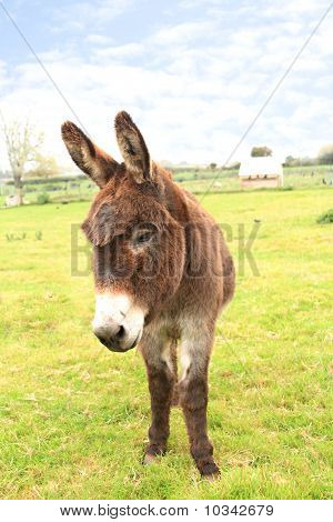 Domestic Donkey Standing In A Field