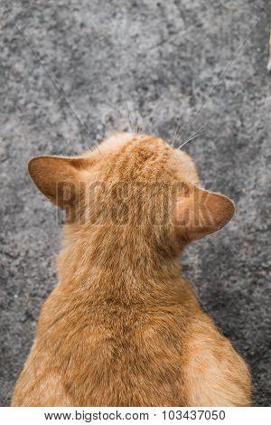 Close up rear view of orange cat