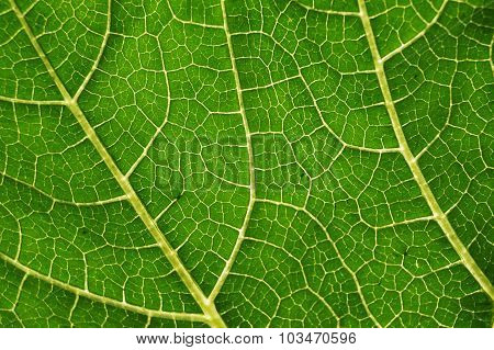 Vascular bundles within a pumpkin leave