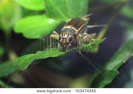 House cricket (Acheta domestica). Wild life animal.
