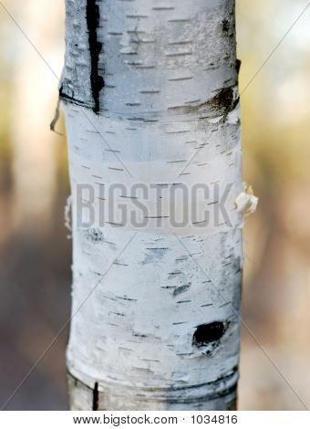 Birch Tree Trunk With High Dof