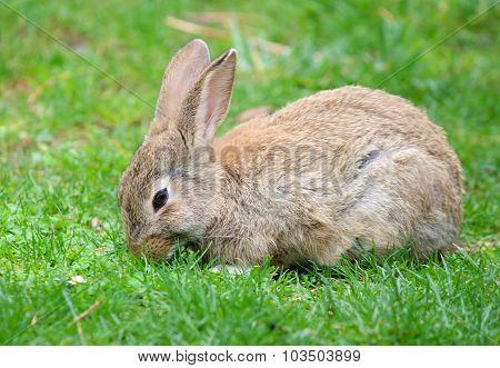 Wild rabbit in grass