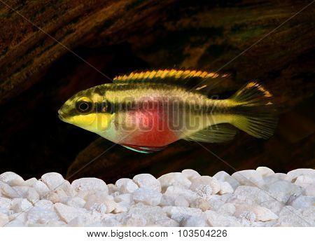 Pelvicachromis pulcher kribensis cichlid Aquarium fish