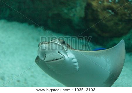 whiptail stingray (Dasyatis americana)
