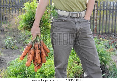 Agronome Holding Carrot Bunch