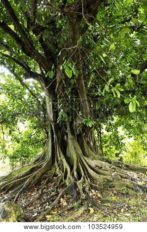 Fig Tree In Martinique