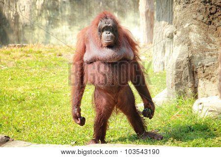 Standing Orangutan