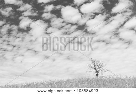 Dry Tree On The Field And Beautiful Sky On Black And White Background