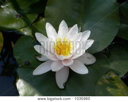 Water Lily, White ,