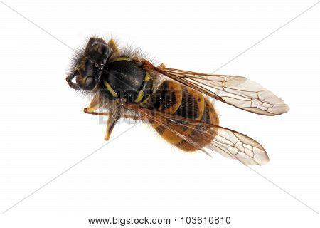 Close-up Photo Of A Wasp.