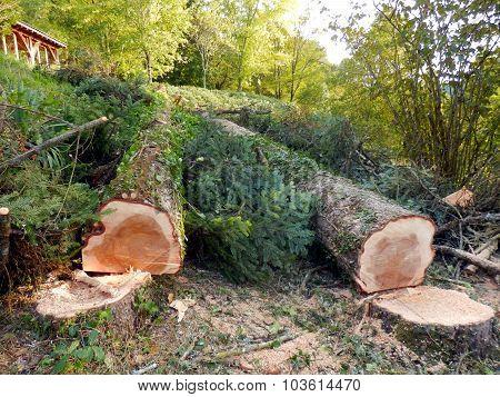 Felled European Spruce Trees