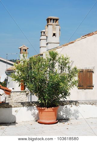 Oleander In Pican
