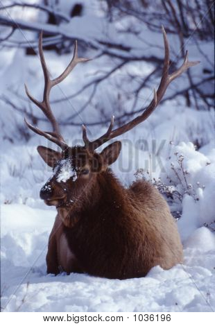 Elk Bull In Snow Cervus Canadensis 3