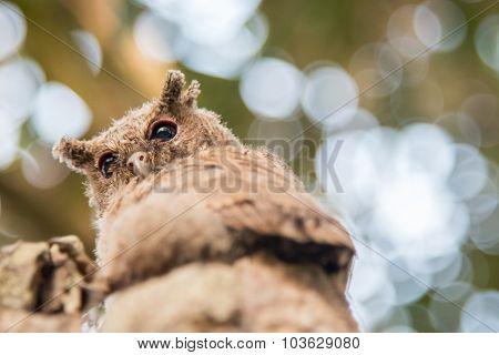The Little Owl