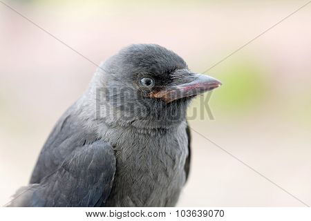 Jackdaw Staring, Close-up, Side View