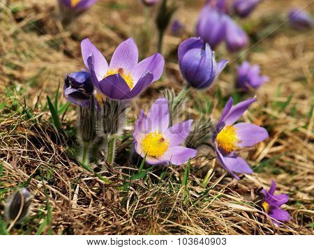 Pulsatilla - Pasque Flower