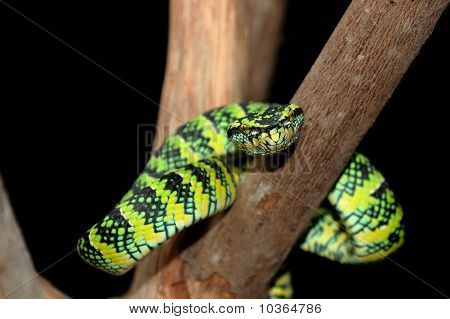 a picture of a temple pit viper poster