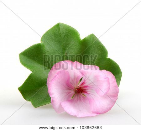 Pelargonium Geranium Flower Isolated On White Background