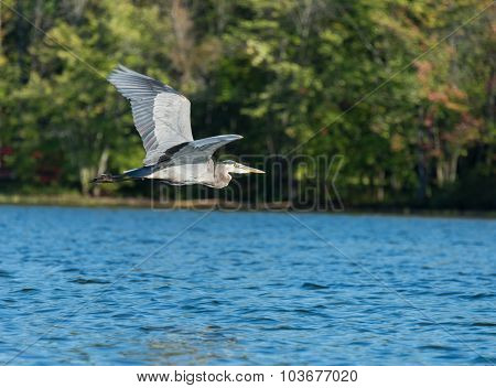 Blue Heron Flys Above The Lake