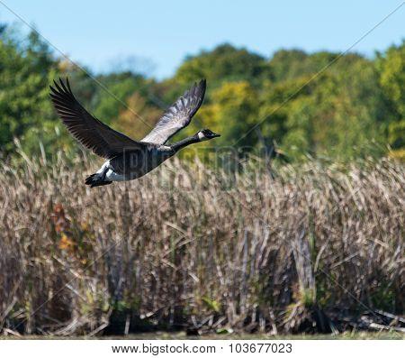 Goose Flying Over The Marsh