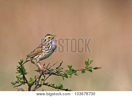 Singing Savannah Sparrow