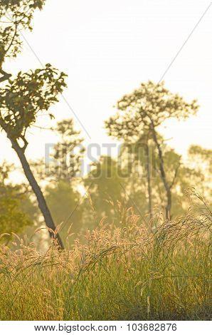 Foxtails Grass