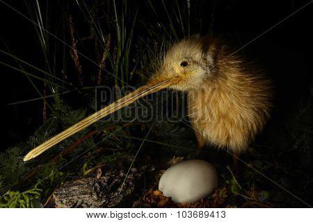 Kiwi Bird And An Egg
