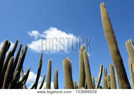 Tall Unbranched Columnar Habit Cephalocereus