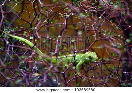 Rare Green Gecko Northland New Zealand