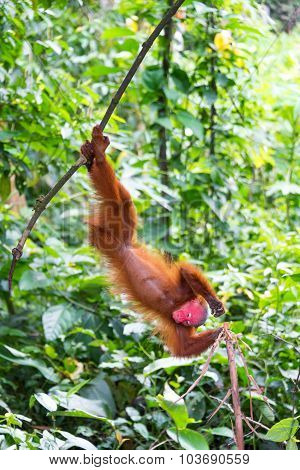 Upside Down Bald Uakari Monkey