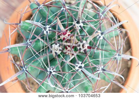 Cactus In Flower Pot