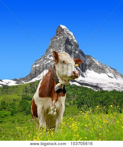 Cow in the meadow.In the background of the Matterhorn - Pennine Alps, Switzerland