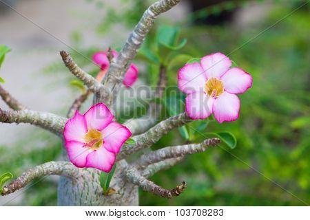 Adenium Or Desert Rose Flower