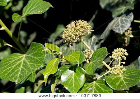 Common Ivy (hedera Helix) In Blossom, Evergreen Foliage And Blooms