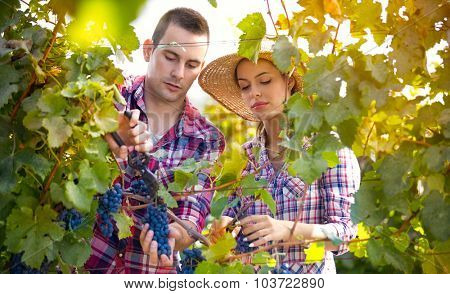 Winegrowers in vineyard, young man and woman harvesting grapes