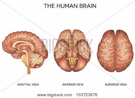 Human Brain Detailed Anatomy