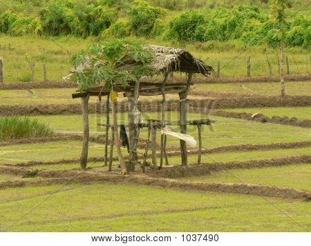 Small Hut In A Paddy Field