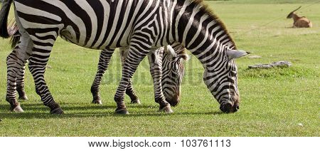 Two Beautiful Zebras On The Grass Field
