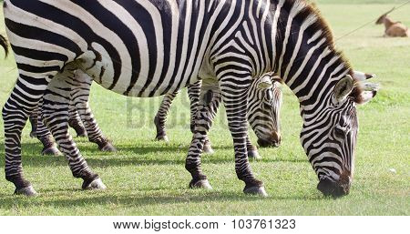 Several Beautiful Zebras Close-up