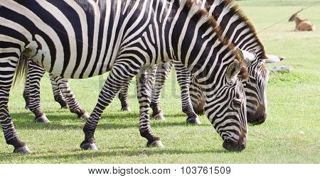 Beautiful Zebras Are Eating The Grass